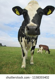 a toung dairy cow stood in a field in summer