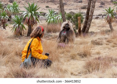 Tourist with camera observing male gelada baboon, in Simien Mountains, Ethiopia. Yellow grass and green palm trees.