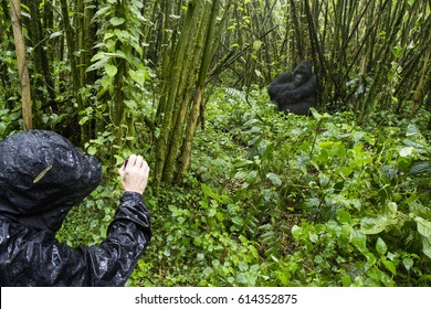 Tourist filming mountain gorilla in bamboo forest of Volcanoes National Park, Virunga, Rwanda, Africa.