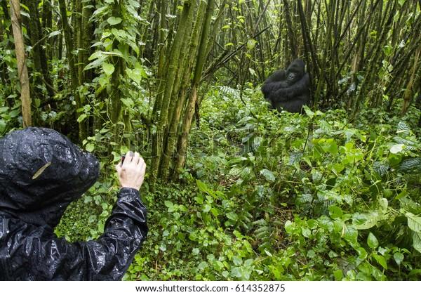 Tourist filming mountain gorilla in bamboo forest of Volcanoes National Park, Virunga, Rwanda, Africa.