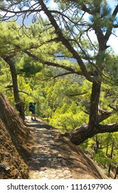 Tourist in the forest with pines Pinus canariensis in Caldera of Taburiente, La Palma, Canary Islands