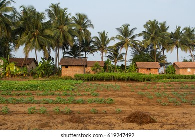 Tourist houses in the village of Inili. Fields with fruit crops and coconut palms. Typical Indian landscape