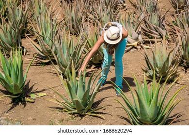 Tourist inn aloe vera plantation in La Gomera, Canary Islands