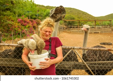 Tourist man feeds ostriches in Oudtshoorn, Western Cape, South Africa while an ostrich steals his hat. Fun tourist activity in the largest city of Little Karoo known for the numerous ostrich farms.