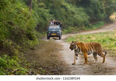 Tourist on safari and Bengal Tiger