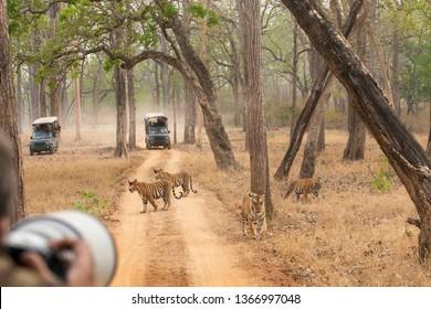 A tourist photographing 4 tigers at Kabini, Nagarhole Tiger Reserve India