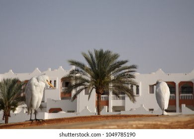 Tourist resort, Egypt, cattle egrets