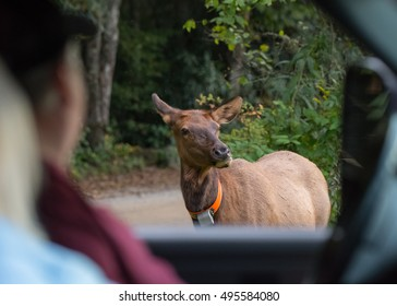 Tourist Safely Observe Elk Cow From Truck as the rut begins in Cataloochee Valley