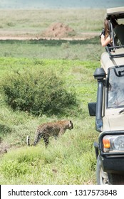 Tourist shooting leopard from the vehicle with open roof during safari game drive in Serengeti National park, Tanzania