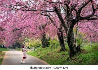 Tourist take a photo at pink cherry blossom in spring.