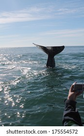 A tourist takes a photo of a diving gray whale bringing up its flukes in a lagoon in Baja Mexico