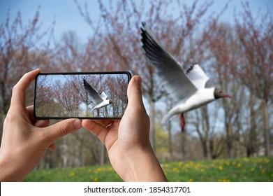 Tourist taking photo of black-headed gull flying in the park