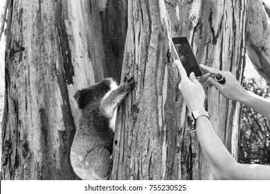 Tourist taking a picture of Koala on a tree, Cape Otway - Australia.