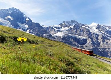 A tourist train travels on Jungfrau Railway from Kleine Scheidegg to Jungfraujoch (Top of Europe) & wild flowers bloom on a green grassy hillside under blue sunny sky in Bernese Oberland, Switzerland
