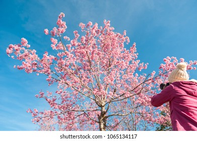 Tourist traveler take photos by camera under sakura or cherry blossoms tree. Women tourist use camera take a photo of cherry blossoms or sakura in full bloom