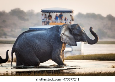 Tourist watching an elephant crossing a river in the Chobe National Park in Botswana, Africa; Concept for travel safari and travel in Africa