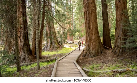 Tourists with Backpacks walking between giant Sequoia Trees. Backpackers on wooden sidewalk in Sequoia National Park, California, USA.