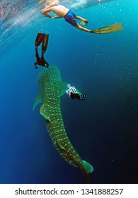 Tourists diving with whale shark in the Botubarani beach in Gorontalo, Indonesia On Sunday, July 31, 2016.