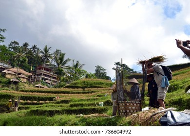 The tourists doing ecotourism at one rice field in Bali. Pic was taken in May 2017.