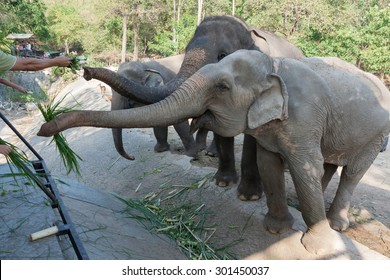Tourists are feeding elephants at Khao Kheow Open Zoo, Chonburi, Thailand