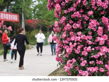 Tourists take photos at the rose garden for leisure in huai 'an, east China's jiangsu province, May 14, 2019. [photo/VCG] May is the season of Chinese rose in full bloom, huai 'an city rose garden flo