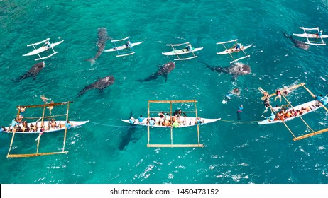 Tourists are watching whale sharks in the town of Oslob, Philippines, aerial view. Summer and travel vacation concept. People snorkeling and and watch whale sharks from above.