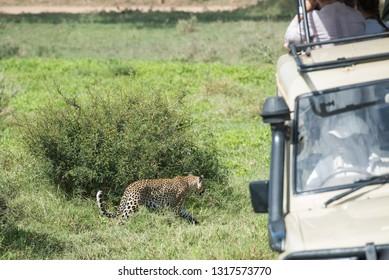 Tourists watching wild leopard walking in african savannah
