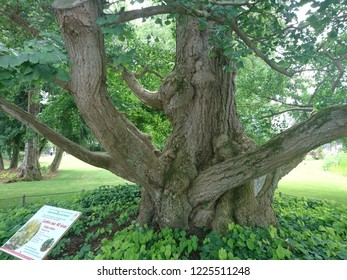 Tours, France - June 1, 2017 : Trunk of a monumental Ginkgo biloba tree planted in 1843 in Tours Botanical Garden, France