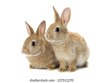 Tow cute golden rabbits sitting on white background.