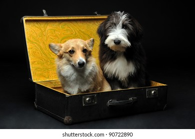 Tow cute puppies sitting in a black suitcase