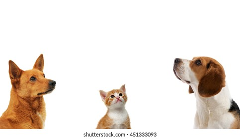 Tow dogs and cat together looking up on isolated white background