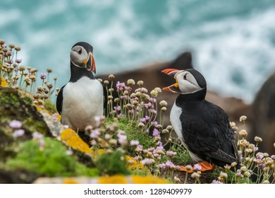 Tow Icelandic puffin standing on stone amd some beautiful colorful flowers near puffin's.