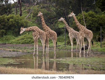 the tower of giraffes are standing in a puddle