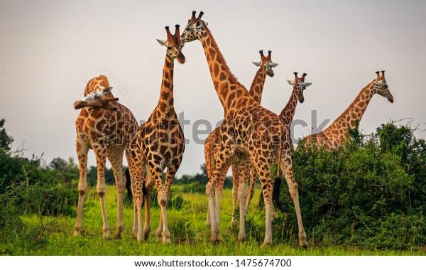 tower of Rothschild Giraffe (Giraffa camelopardis rothschildi) in Murchison Falls NP, Uganda