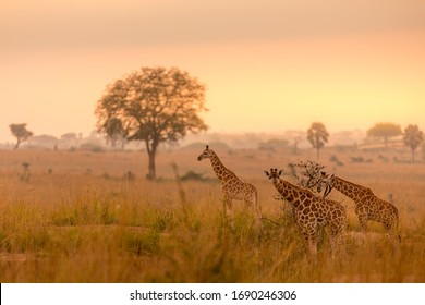 A tower Rothschild's giraffe ( Giraffa camelopardalis rothschildi) in a beautiful light at sunrise, Murchison Falls National Park, Uganda.
