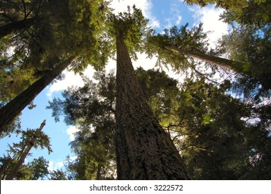 Towering Douglas Firs.  Cathedral Grove National Park.  Canada.