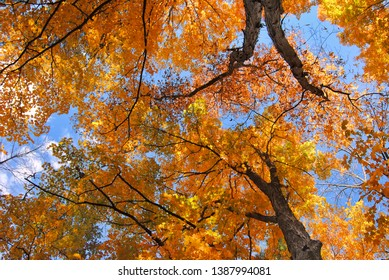 Towering oak trees in old growth forest in the autumn. Rich golden leaves with clear blue sky.