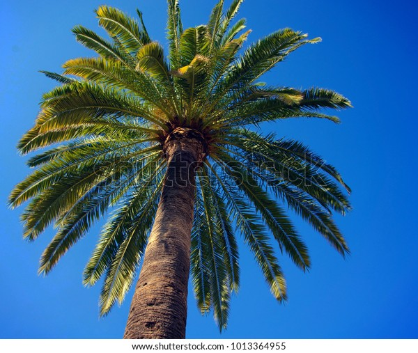 Towering palm tree canopy against a clear blue sky