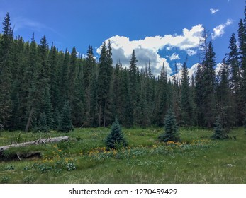 Towering pine trees in national forest land in the White Mountains in Arizona. This photo was taken during a hike during July in the Mt. Baldy Wilderness area.