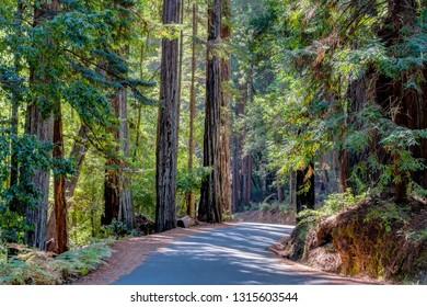 Towering redwood sequoia trees at, Big Basin Redwoods State Park.