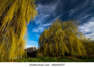 Towering weeping willow trees along the Lea Canal in London, stand out with their yellow foliage against the blue sky