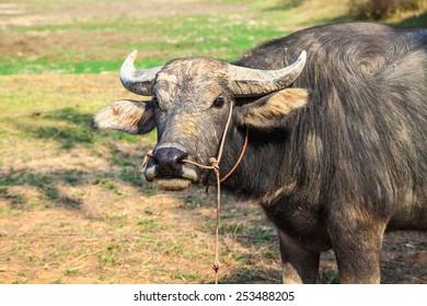 Towing Buffalo.