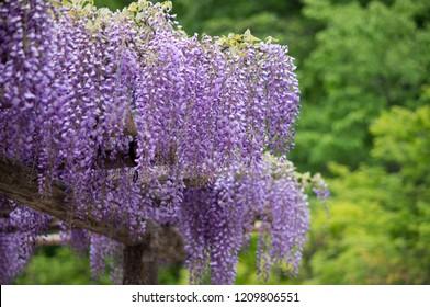 townda-shi Peony garden, Wisteria Flower