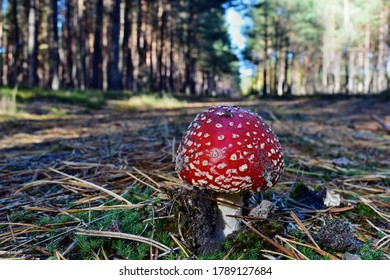 Toxic red mushroom amanita muscaria is growing in the forest