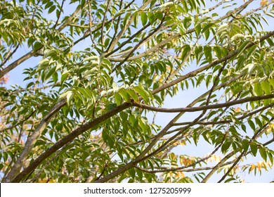 Toxicodendron vernicifluum (formerly Rhus verniciflua), also known by the common name Chinese lacquer tree