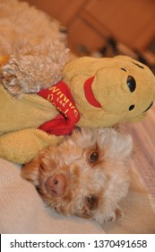 Toy Cockapoo laid with a pooh bear teddy