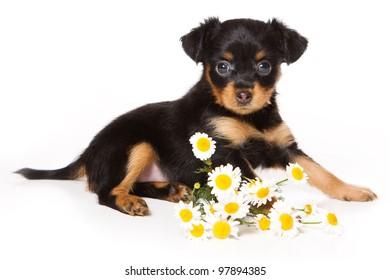 Toy Dog puppy on white