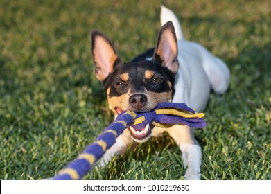 toy fox terrier playing tug of war with the photographer