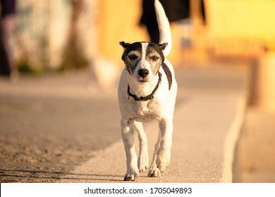 Toy fox terrier small black and white dog happily running towards the camera. Black leash on a stone surface, bright sunny day, orange glare in the background