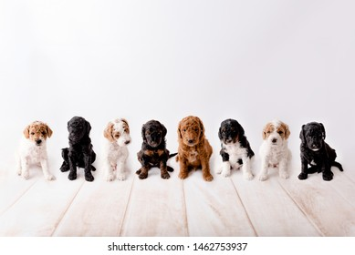 Toy goldendoodle puppies all together